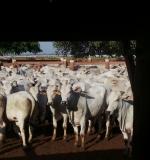 Manejo do gado na mangueira